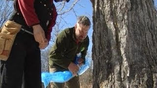 Mighty Oaks Mens Academy, Tapping for Maple Syrup, Duluth Minnesota, Superior Wisconsin