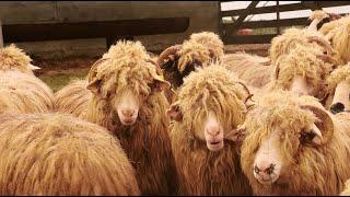 850 de oi mame BĂLE și BREZE a lui Crișan Mihai din Vama SM 2021