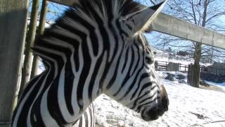 グラントシマウマに動物園で売っているペレットをあげる 2015年2月26日 ...