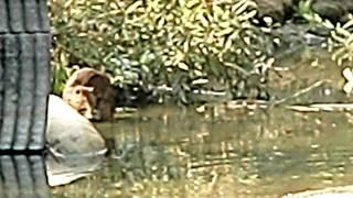これは珍しい野生のカピバラ家族の水遊び(見事な泳ぎも披露)