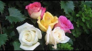 Просто розы. Самые красивые цветы. Приятная музыка.