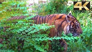 Keren.... Ada Harimau Sumatera di Kebun Binatang Terkenal di Jepang.  Ueno Zoo (東京都恩賜上野動物園) 4K
