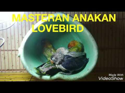 AUDIO MASTERAN buat anakan LOVEBIRD paud