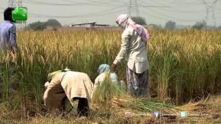 About Basmati Rice - In Baatein Kheti Ki On Green TV