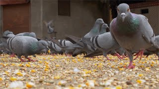 A flock of pigeons eating grains - Indian Street Scene