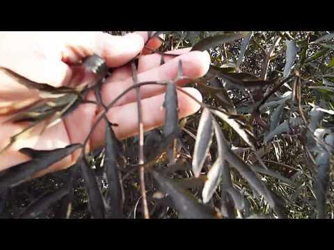 Black Laced Elderberry (Sambucus nigra)