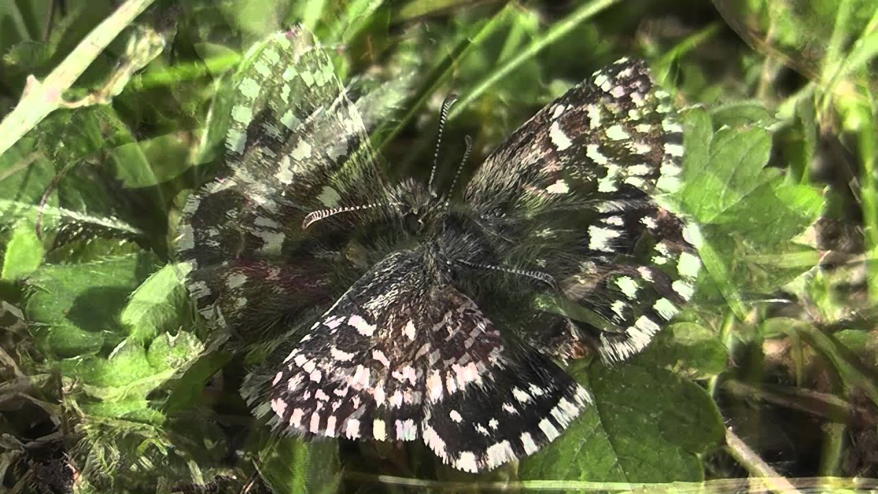 The Return of the Grizzled Skipper