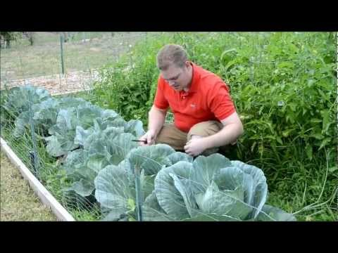 Texas Organic Spring Vegetable Garden 2012 Update #4 of 8
