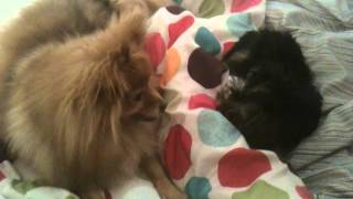 Newborn Yorkie Playing With Pomeranian