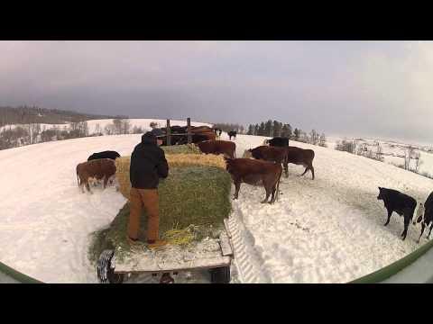 Feeding Beef Cattle GoPro