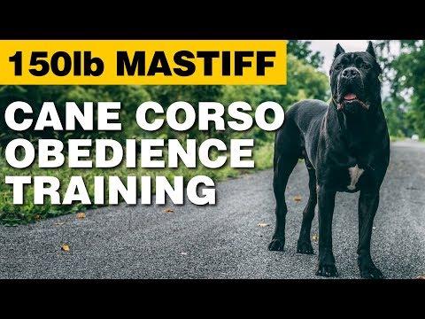 Cane Corso Obedience Training - 150lb Mastiff!