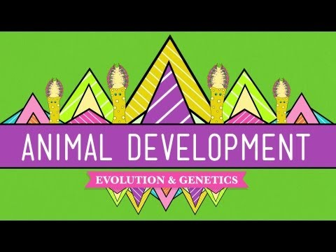 Animal Development: We're Just Tubes - Crash Course Biology #16