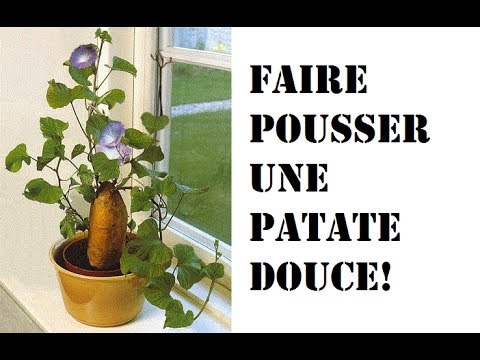 faire pousser une patate douce youtube. Black Bedroom Furniture Sets. Home Design Ideas