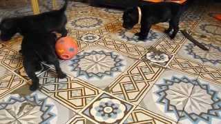 Chiots Staffordshire Bull Terrier ( Staffie) 4