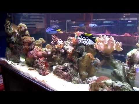 Lion Fish Feeding
