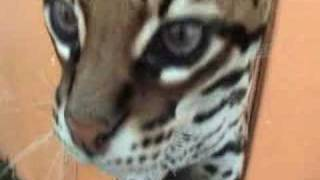 Pet Ocelot in Heat