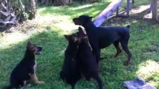 Florida Dog Academy - Puppies & Doberman Playtime!!