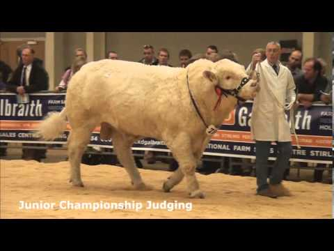 Charolais Judging at Stirling Agricultural Centre (Perth Bull Sales) October 22nd 2013