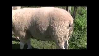 Cría de ovejas Texel   parte 1