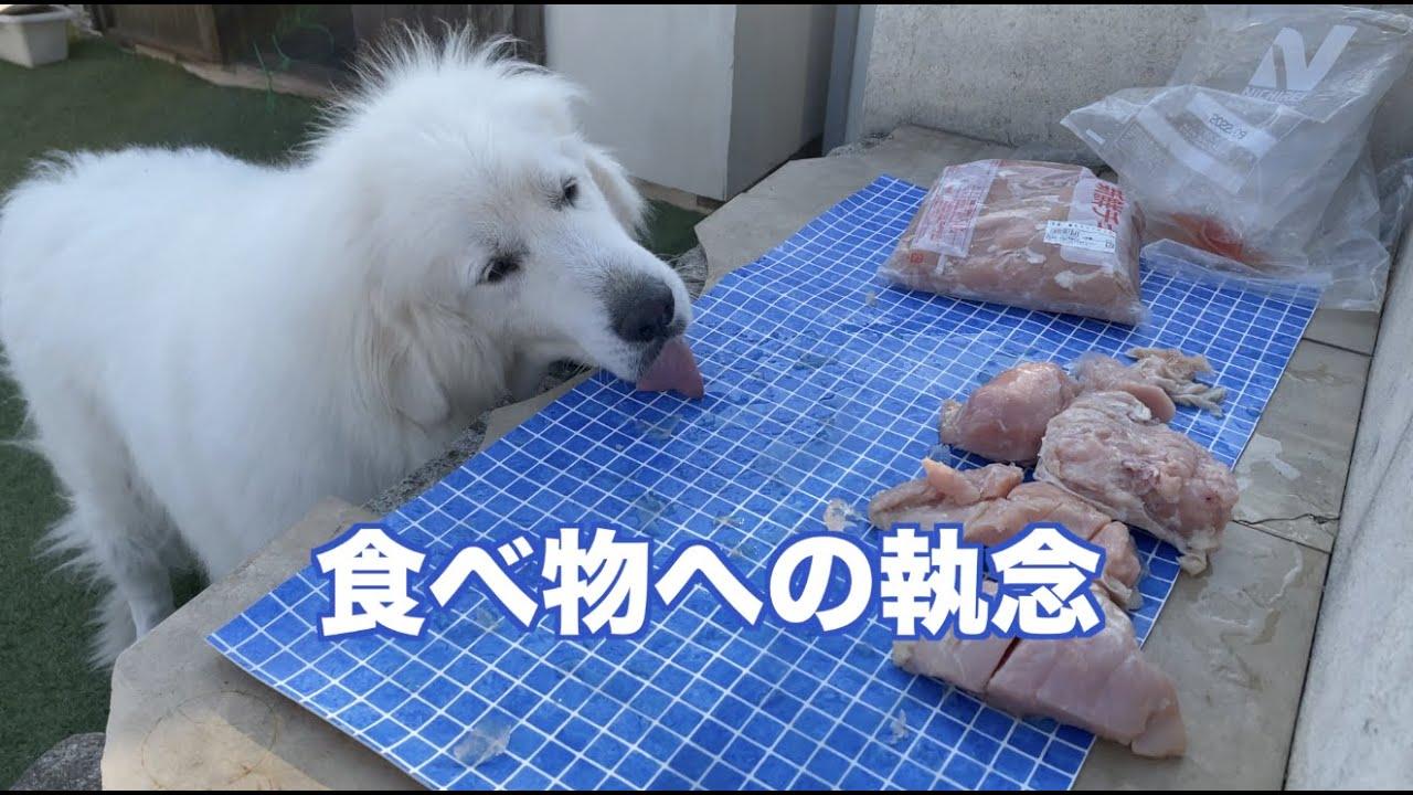 鶏肉をゆでているスキを狙って グレートピレニーズ