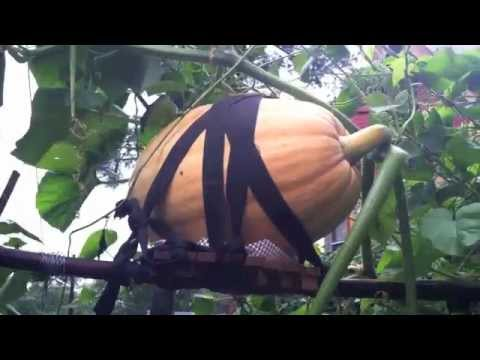 Pumpkin vs Hurricane Irene - Part 2