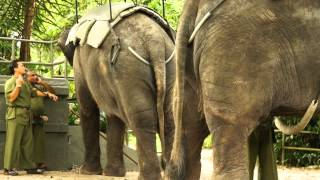 Biggest Asian Elephant in Singapore Zoo .