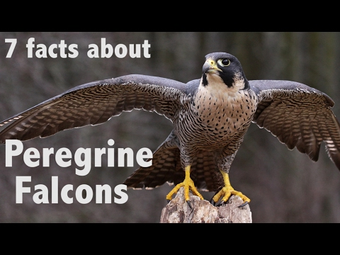 7 Facts about Peregrine Falcons