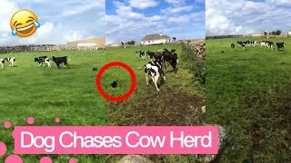 Irish woman hilariously freaks out as her dog chases a herd of cows