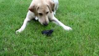 Teaching A Dog Not To Pick Up Baby Birds | Hunting Dog
