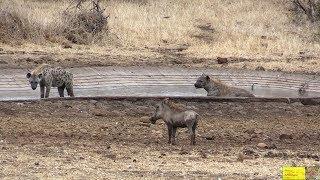Brave Warthog Mocking Hyenas