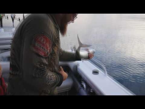 moreton bay mackerel