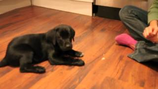 Black lab training at 8 to 9 weeks