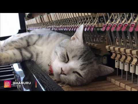 PURR ELISE Piano Meowssage - Dream Of Haburu