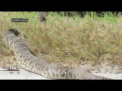 Large rattlesnake startles Florida birdwatchers