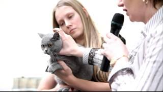 Голубая британская короткошерстная кошка