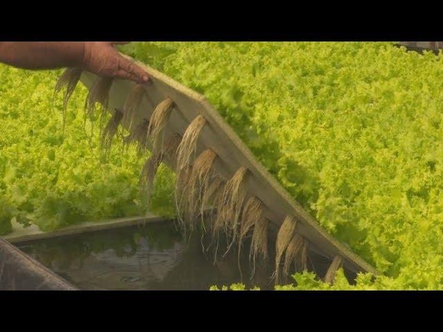 Hidroponia sustentable: desde la casa a cultivos comerciales