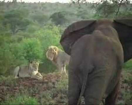 Elephant chase Lions away, Who is the King