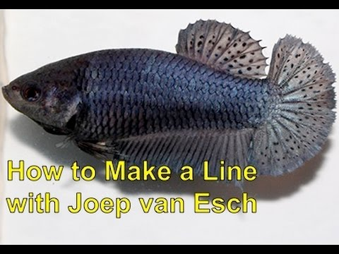 Betta Selective Breeding with Joep van Esch: How to make a line