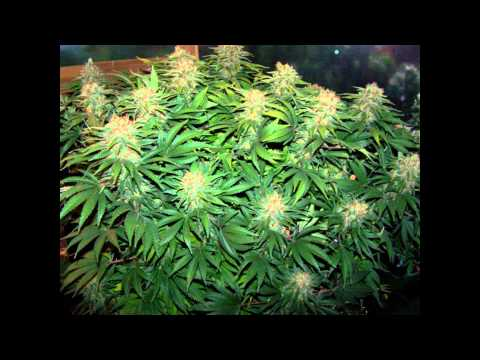 Plante ton herbe plantation d 39 interieur cannabis ma for Cannabis plantation interieur
