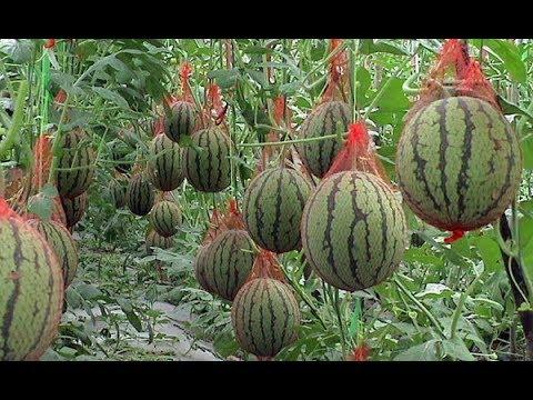 ОБАЛДЕННЫЙ СПОСОБ ВЫРАЩИВАНИЯ КАБАЧКОВ,АРБУЗОВ И ДЫНЬ! | выращивание | вырастить | кабачков | тыквенн | рассада | кабачок | арбузов | арбуз | дыня | дыню