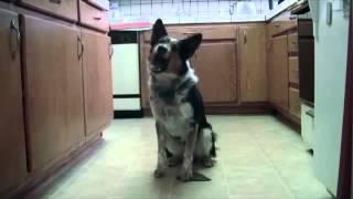 Самый умный пёс в мире