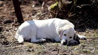 905 White Labrador Retriever Sleeping