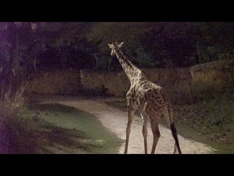 Disney's Animal Kingdom NEW Nighttime Shows | Night Safari, Jungle Book Alive With Magic & Review!