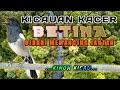 Kacer Betina Birahi Memancing Jantan Langsung On Aktif  Mp3 - Mp4 Download