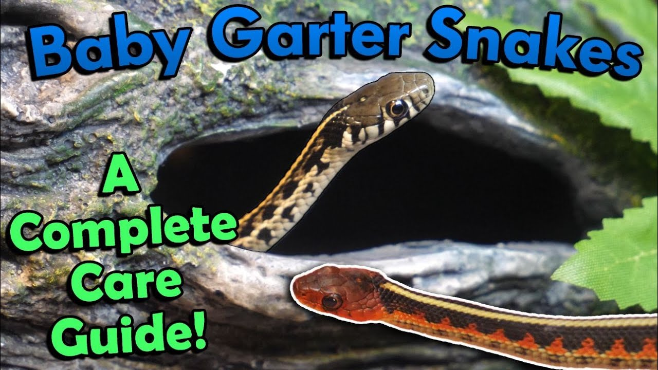 How to Care for Baby Garter Snakes!
