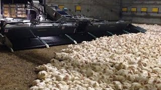 Amazing Modern Chicken Harvest Automatic Machines Process, This Tools Save For Farm Million Dollar