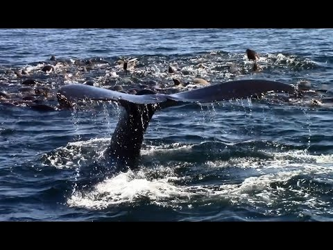 8.13.14 Feeding Humpback Whales & Long Beaked Common Dolphins #Monterey