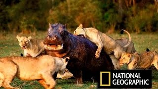 Суперхищники Лев !!! Животные с National Geographic