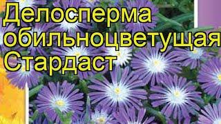 Делосперма обильноцветущая Стардаст. Краткий обзор, описание характеристик, где купить семена