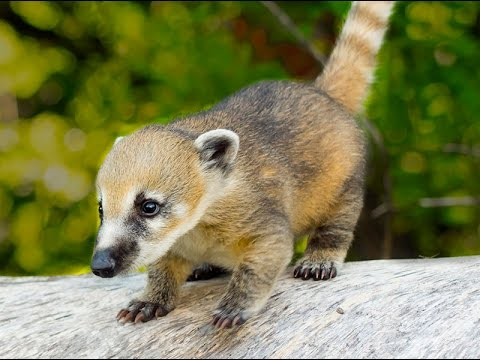 Wild Coati Babies And Family YouTube